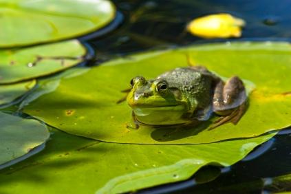 awa-103-bull-frog-rana-clamitans-_mg_1734