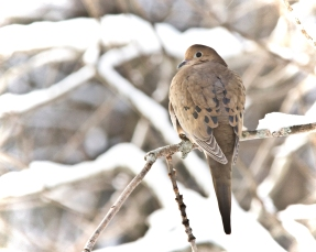 bi-290-mourning-dove-_mg_5776