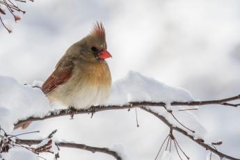 bi-477-cardinal-female-_b9a7712