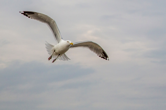 bi-521-herring-gulls-_mg_6822